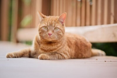 Orange Cat lying down outdoors