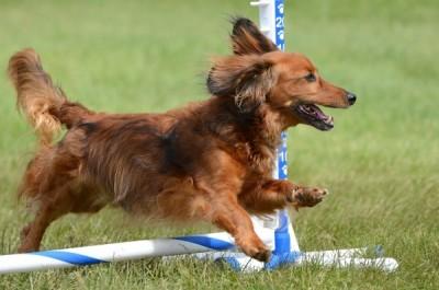 Miniature Dachshund at a Dog Agility Trial
