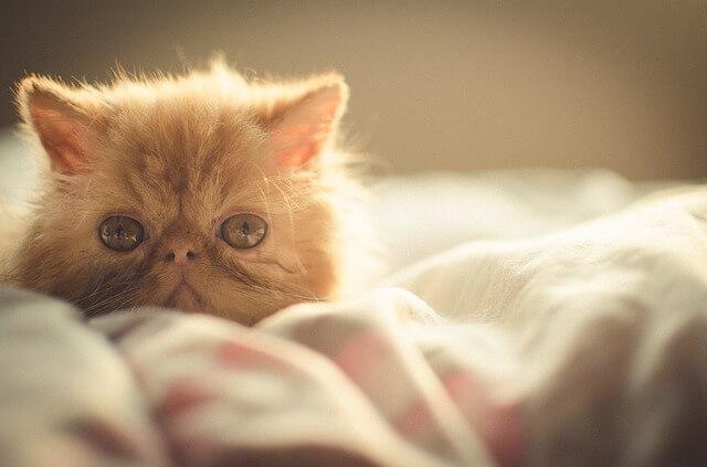 ペルシャ猫の子猫