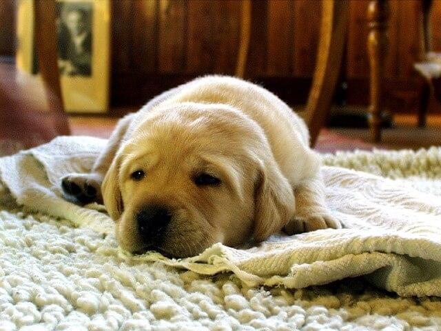 寝そべった子犬のラブラドールレトリバー