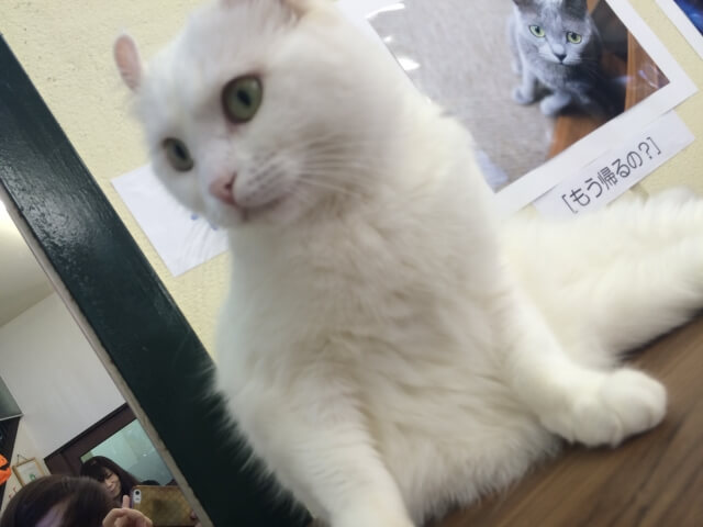 ブリティッシュショートヘアの白猫