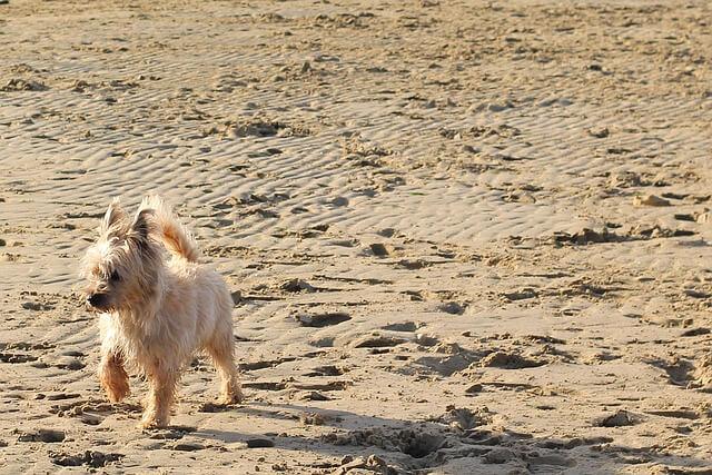 砂浜のケアン・テリア