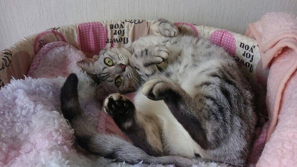 丸まった灰色のベンガル猫