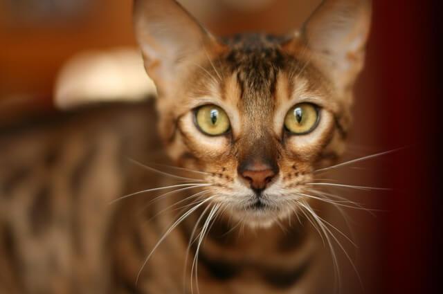 ベンガル猫の顔のアップ