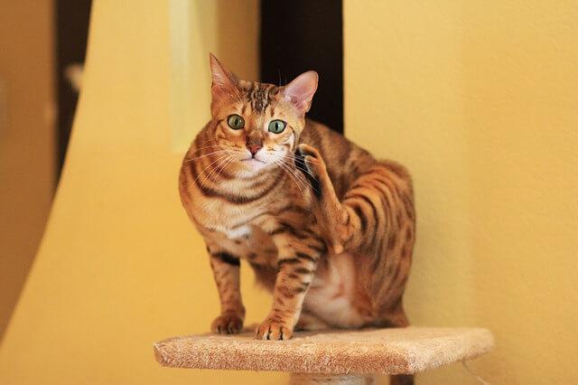 顔を書いてるベンガル猫