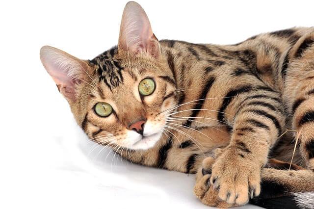 目を見開いたベンガル猫