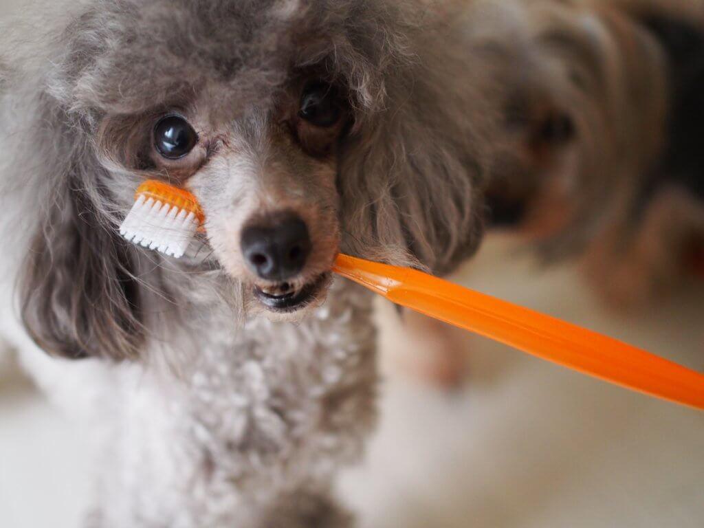 歯ブラシをくわえたプードル