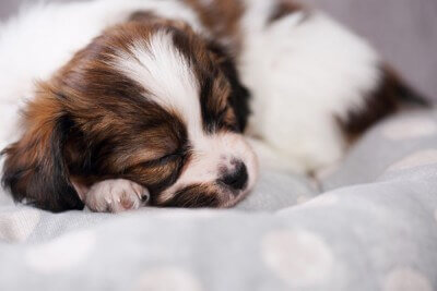 small puppy sleep