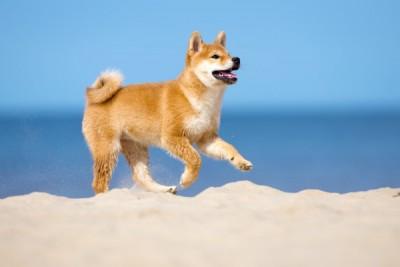 砂浜を走る柴犬