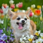 花の中のチワワ