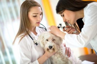 Veterinarians at work checking Maltese ear at vet ambulant