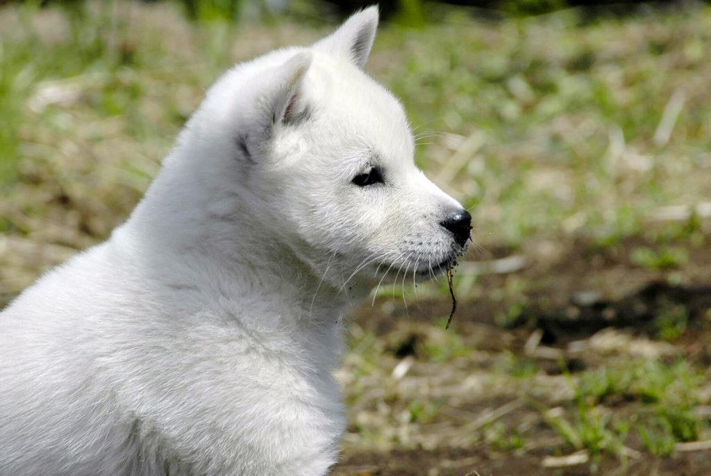 子犬の紀州犬