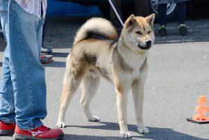 珍しい胡麻色の紀州犬