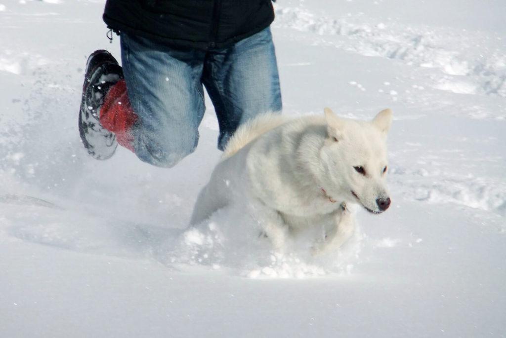雪を走る紀州犬