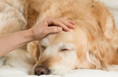 Golden Retriever dog cold