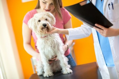 Examination of sick Maltese dog in vet clinic