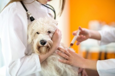 Maltese dog receive injection in vet clinic