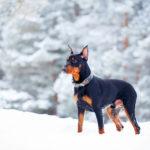 雪の中に佇むジャーマンピンシャー