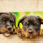 二匹のロットワイラーの子犬