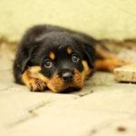 寝そべった子犬のロットワイラー
