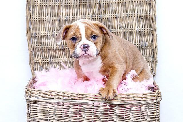 ブルドッグの子犬