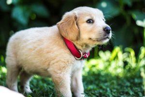 首輪をした子犬のゴールデンレトリバー