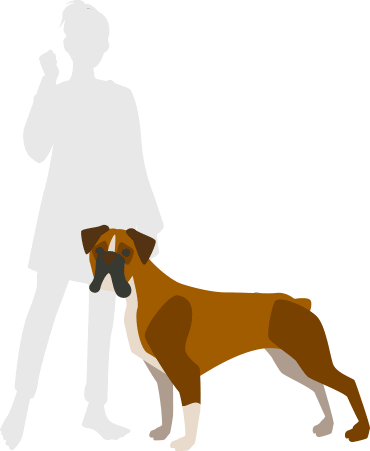 人とボクサー犬の大きさ対比イラスト