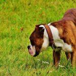 草原の茶白のボクサー犬