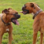 二匹の茶色のボクサー犬