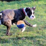 ボールで遊ぶボクサー犬