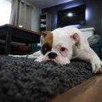 室内で寝そべったボクサー犬