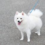 日本スピッツ 犬の散歩