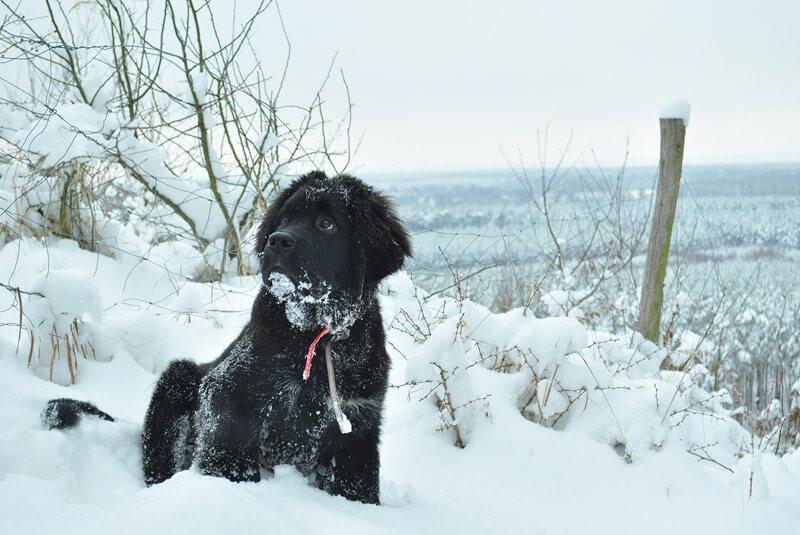 雪の中に座る黒いニューファーランド