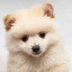 毛色がクリームのポメラニアンの子犬