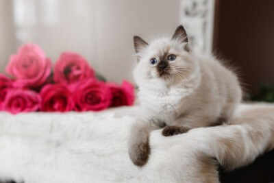 Ragdoll blue point little kitten