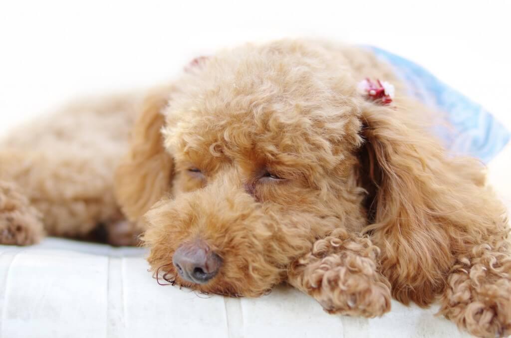 トイプードルの寝顔