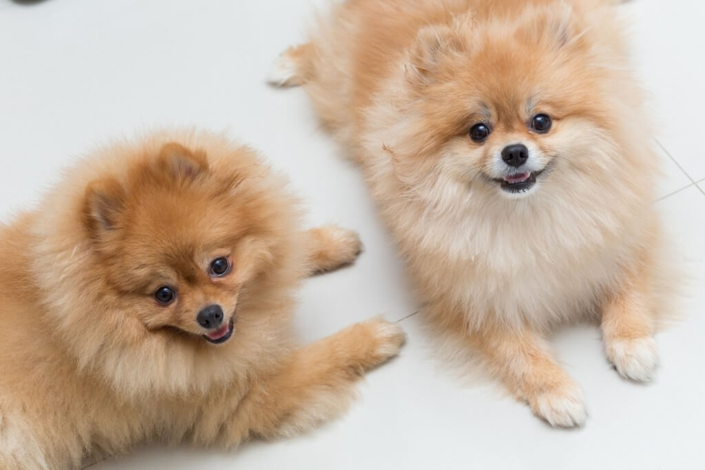 puppy pomeranian dog cute pets