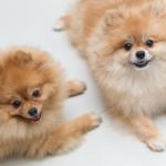 二匹のポメラニアンの兄弟犬
