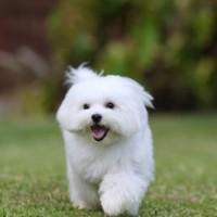White Maltese Dog Running
