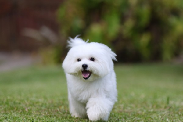 White Maltese Dog Running
