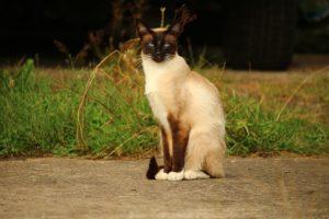 たたずむシャム猫