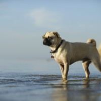 Pug standing in the shallow water with bluffs and blue sky