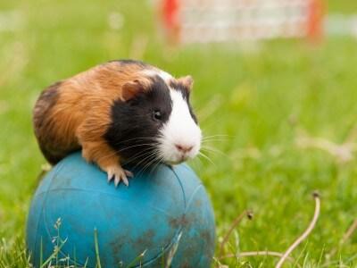 Guinea pig on ball