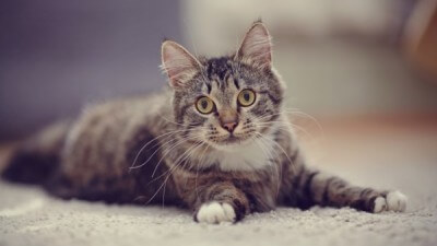Striped domestic cat with yellow eyes