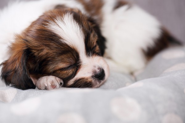 眠っているパピヨン