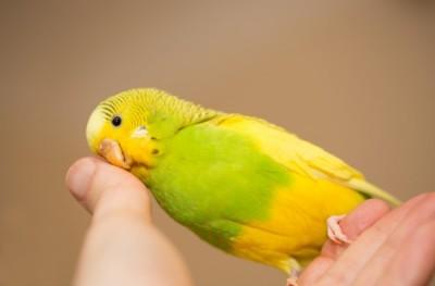 Yellow and Green female budgerigar, parakeet