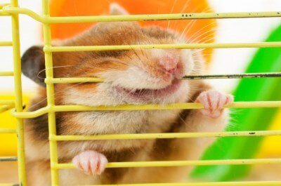 hamster gnawing at the cage