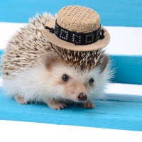 Hedgehog with small hat.