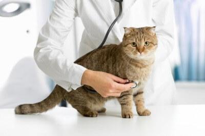 病院で診察を受ける雄猫