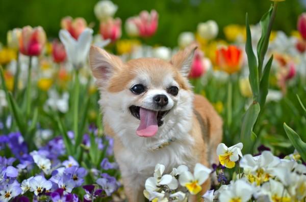 お花畑にいるチワワ